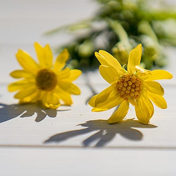 Arnica flowers on a wooden surface.