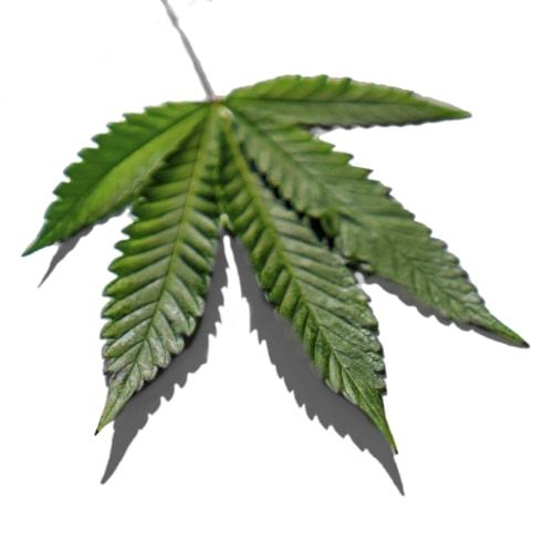 Photo of hemp leaf