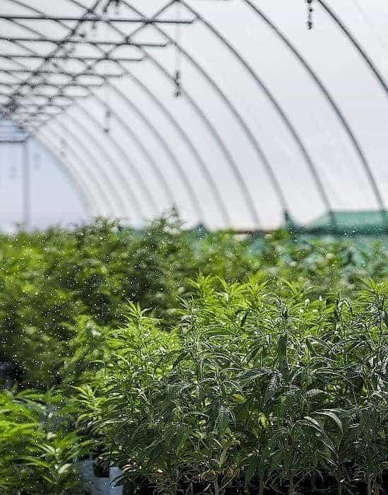 Green Gorilla™ hemp plants being watered in greenhouse.
